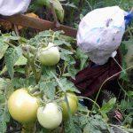 Foto Tomaten